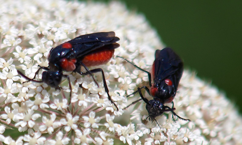 Two Poison Ivy Sawflies