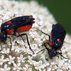 Two Poison Ivy Sawflies