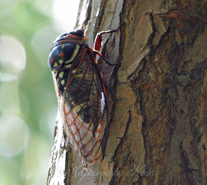 Bush Cicada View 2