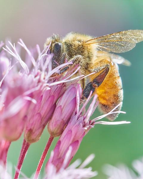 Honey Bee on Joe Pye Weed