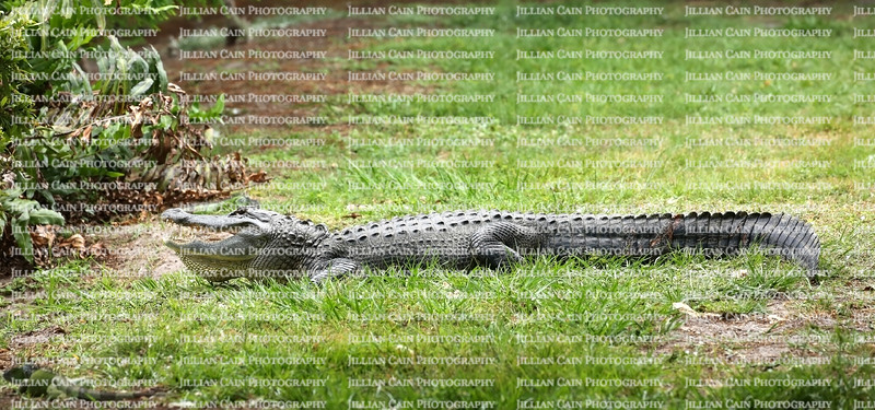 With dried bloody gashes on it's long body an American alligator rest after a fight with another alligator.