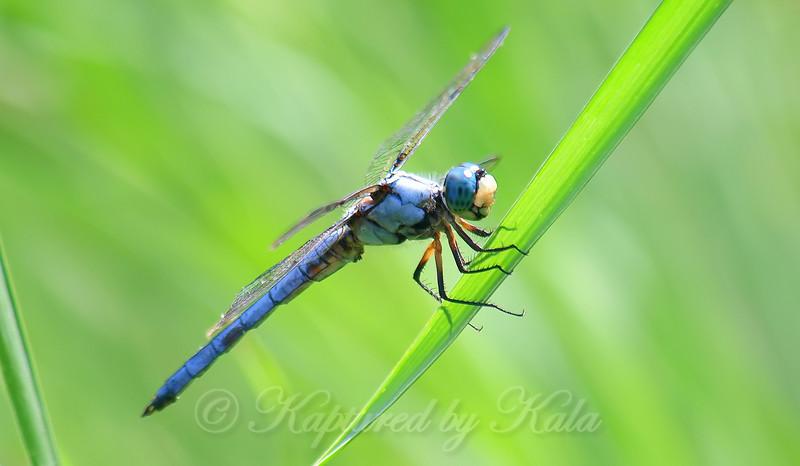 Grinning Great Blue Skimmer