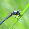 Grinning Great Blue Skimmer