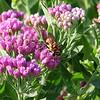 Male Golden Rein Wasp View 4