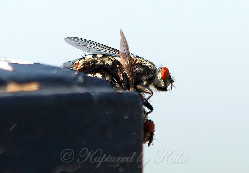 Male And Female Flesh Flies
