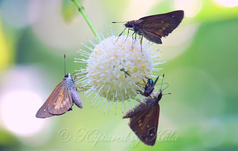 Buttonbush Attracts Pollinators