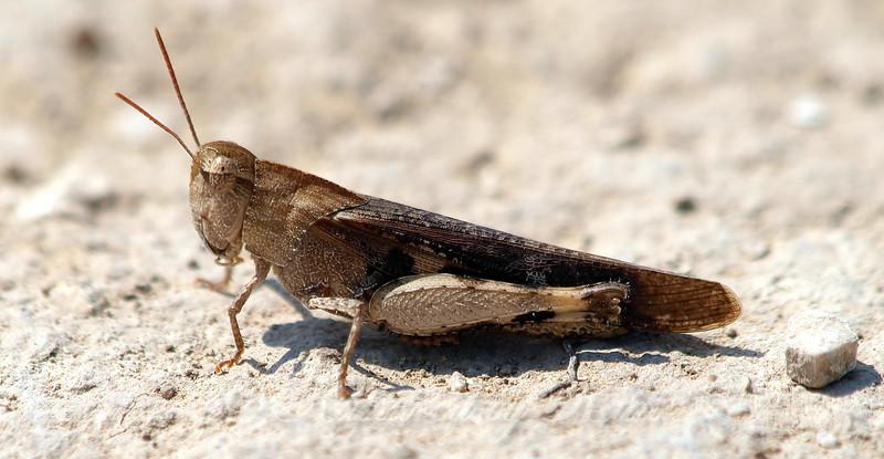 Female Green-striped Grasshopper (Brown Phase)