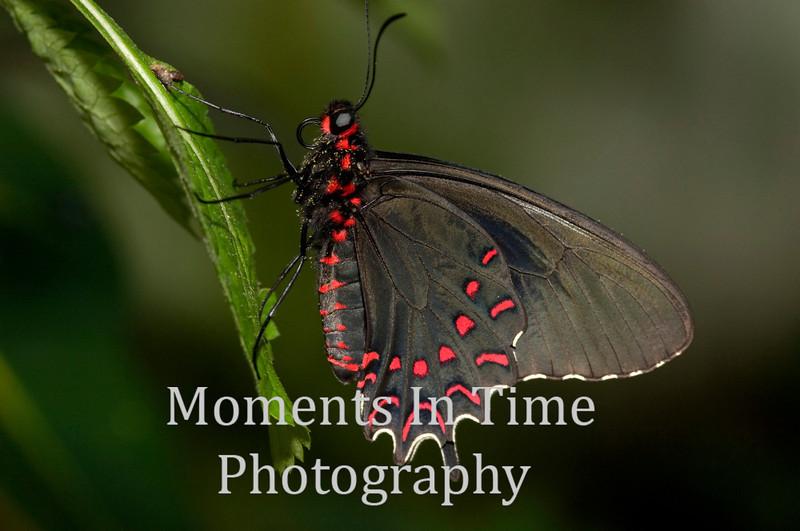 Scarlet morman on leaf