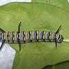 Hungry Queen Caterpillar