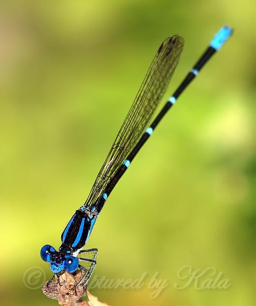 Male Blue-ringed Dancer