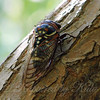 Bush Cicada View 1