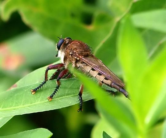 Female Giant Robber Fly