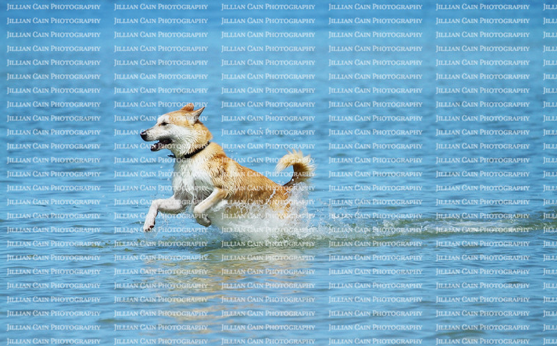Dog jumping and running in the ocean