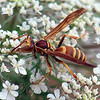 New Species Of Paper Wasp