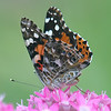 Butterfly Bum