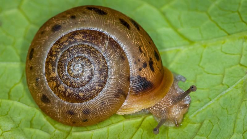 Woodland Snail