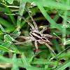 Schizocosa Wolf Spider