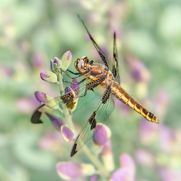 Whitetail Dragonfly on False Indigo 2