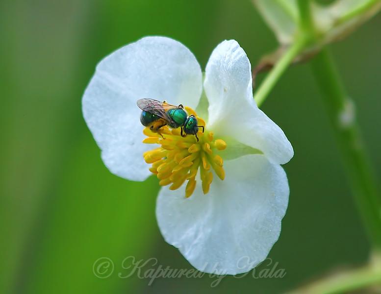 Green Sweat Bee View 2
