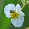 Green Sweat Bee View 2