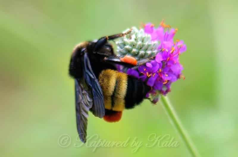 American Bumblebee On Purple Prairie Clover View 4