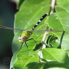 Young Male Pondhawk View 1