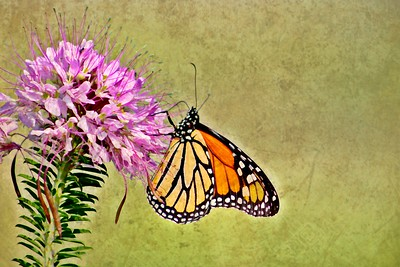 Monarch Butterfly in the Wild