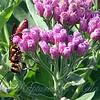 Male Golden Rein Wasp View 6