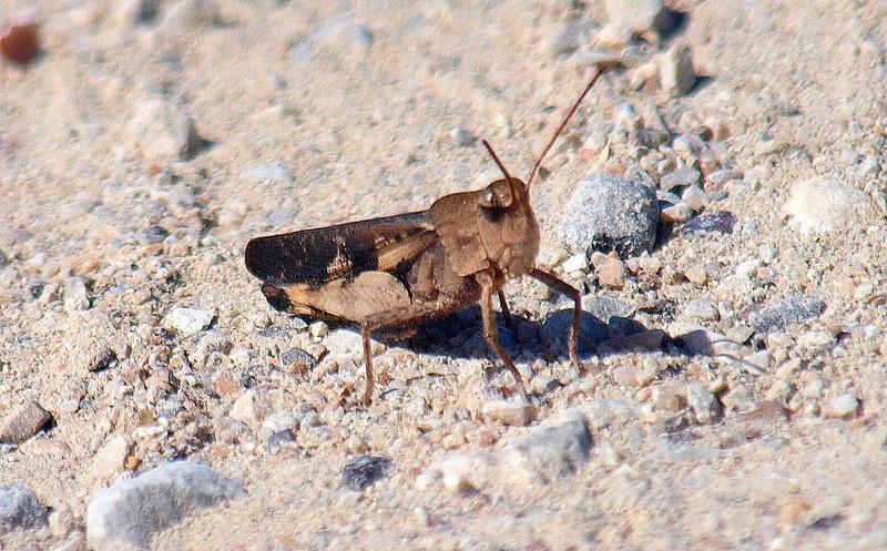 Male Green-striped Grasshopper View 1