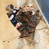 Red Admiral On Sandstone