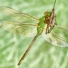 Green Darner In The Sun