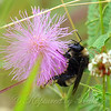 American Bumble Bee In The Pink Of Things