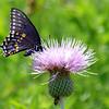 Black Swallowtail On A Texas Thistle