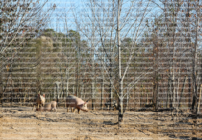 Pigs frolicking and digging holes on rural pig farm in Georgia, USA