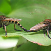 Robber Fly Hook Up