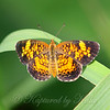 Male Pearl Crescent Butterfly