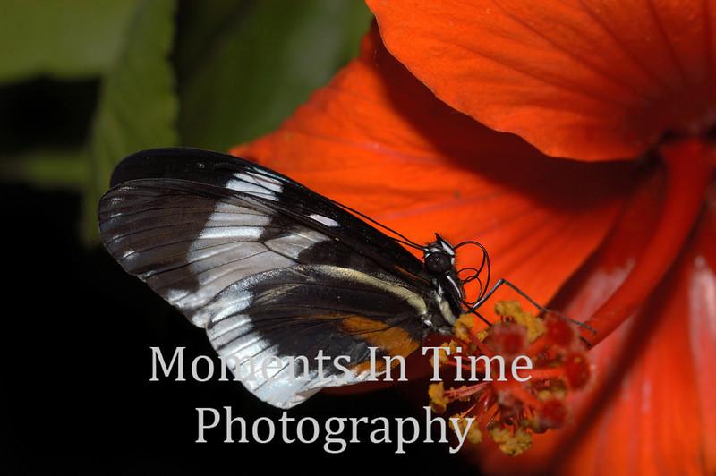 Butterfly orange hybiscus