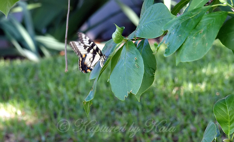 Swallowtail Laying Eggs On My Saucer Magnolia