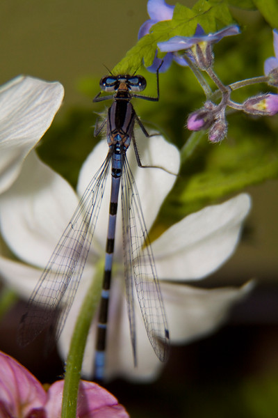Dragonfly.  Seldovia, Alaska.