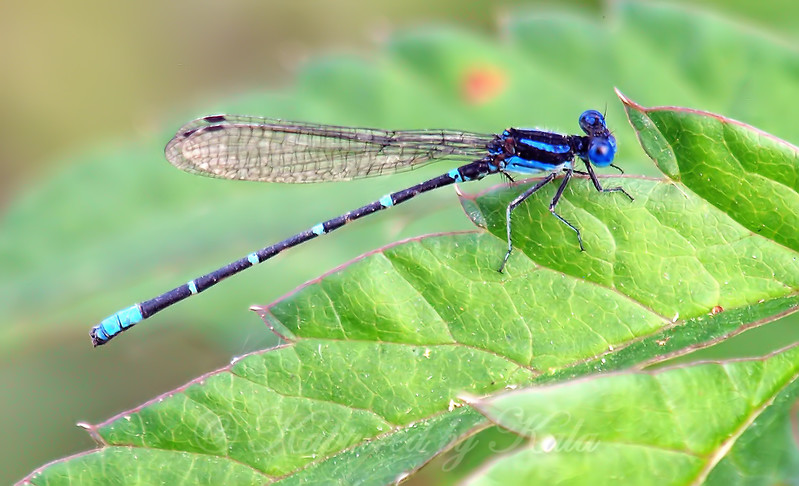 Late Season Damselfly