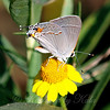 Gray Hairstreak On Daisy