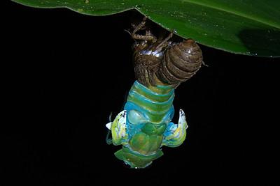 Cicadidae -  Zammara smaragdina - Cicada
