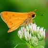 Colorful Fiery Skipper