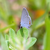 My First Eastern-tailed Blue