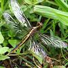 Female Widow Skimmer View 2
