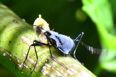 Beetle eating a baby banana slug
