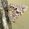 Hackberry Emperor On A Willow Tree