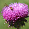 Two Honey Bees On A Thistle