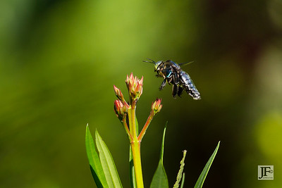 Carpenter Bee, Singapore