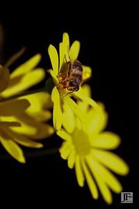 Honeybee, Cala de Mijas